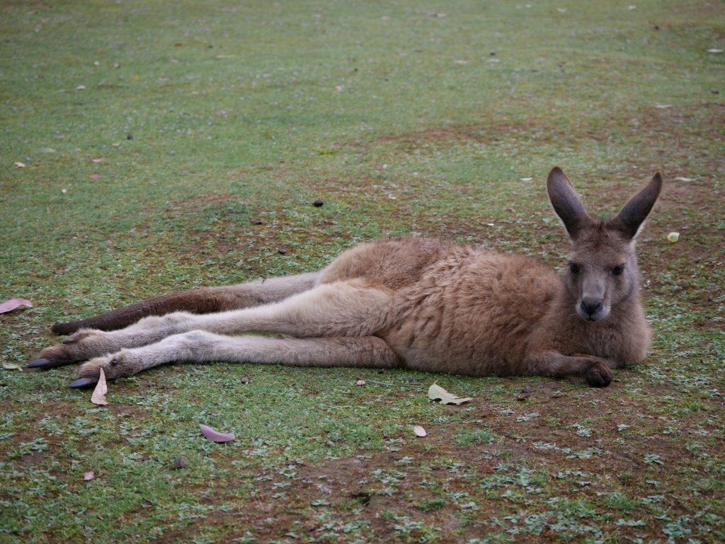 Les kangourous ont la vie douce