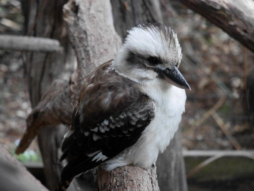 Un laughing Kookaburra