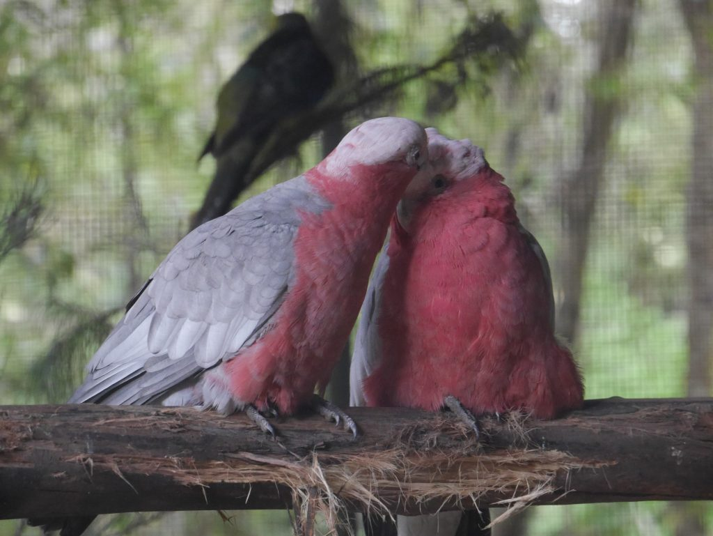 Un couple de perroquets