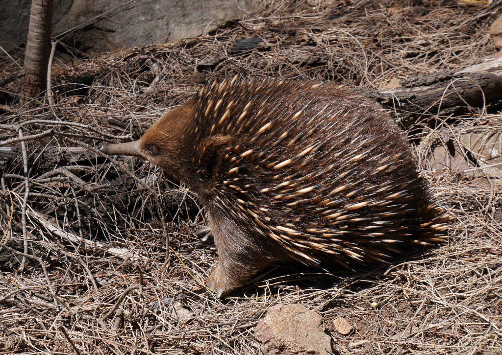 Un echidné à nez court, la seule espèce que l'on trouve en Australie / Tasmanie