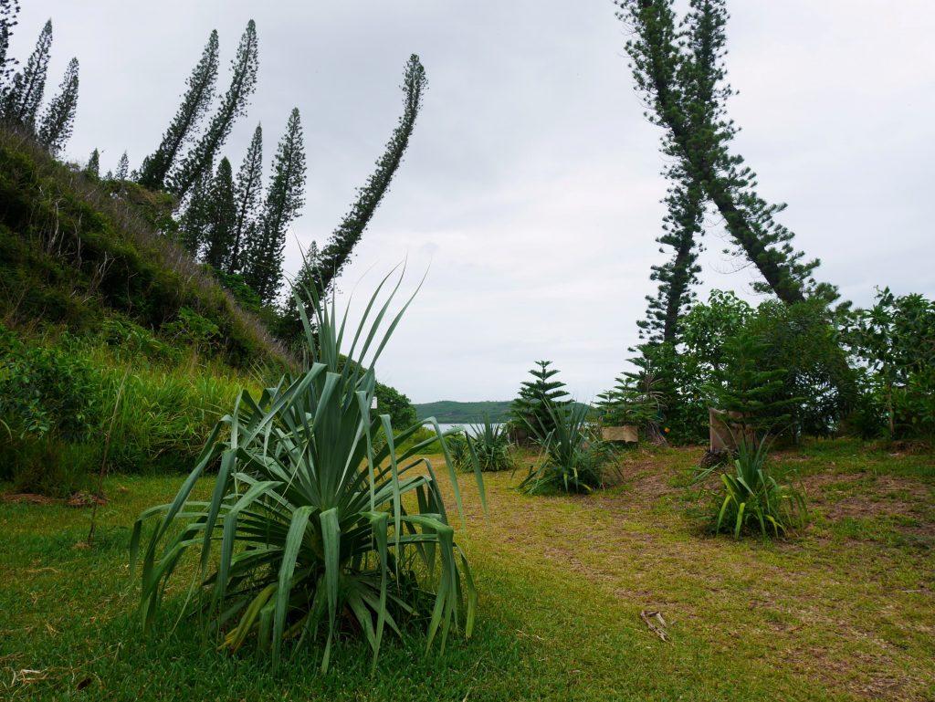 Des pins coloniaux