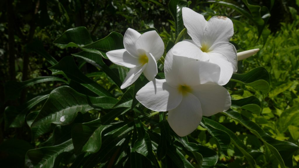 noumea-et-pins-j6-fleurs