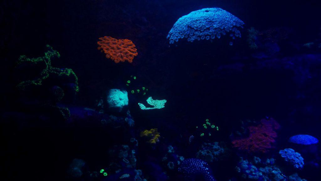 Des coraux fluo à l'aquarium