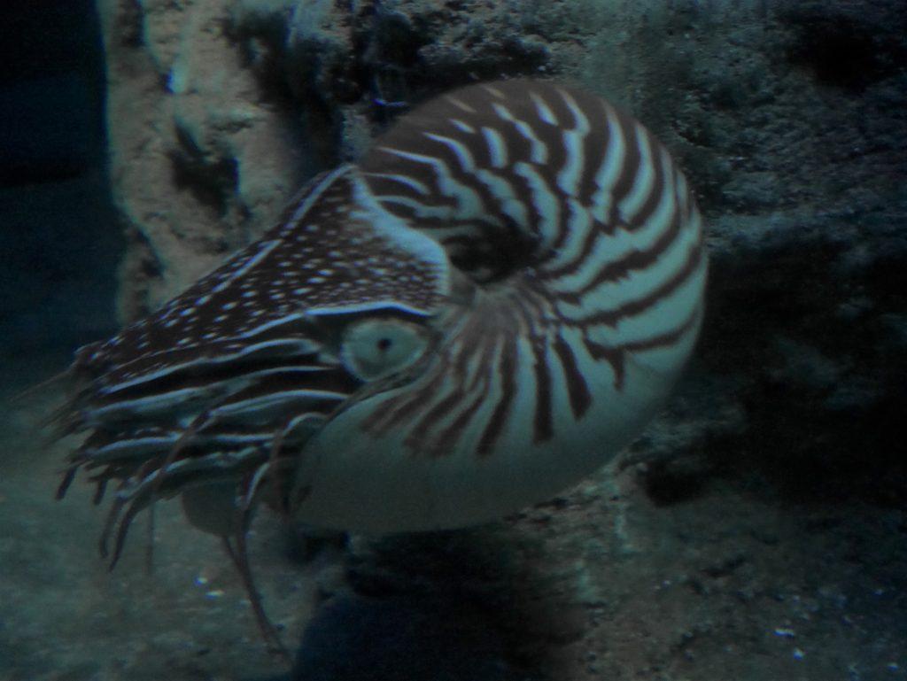 Un vrai nautile à l'aquarium