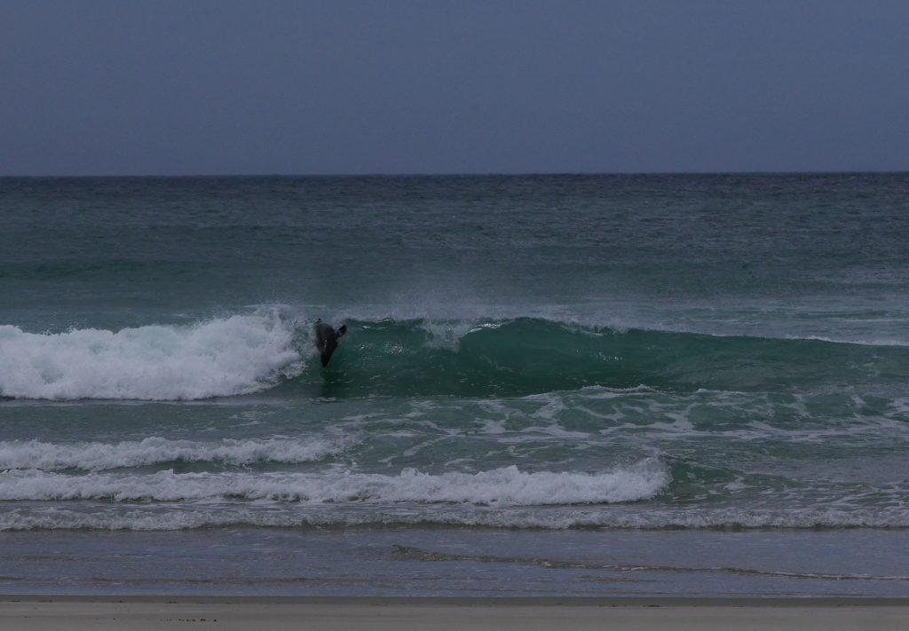 Lion de mer dans les vagues