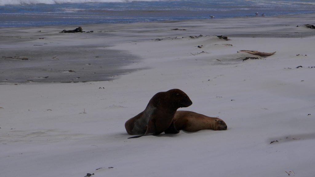Lions de mer au repos