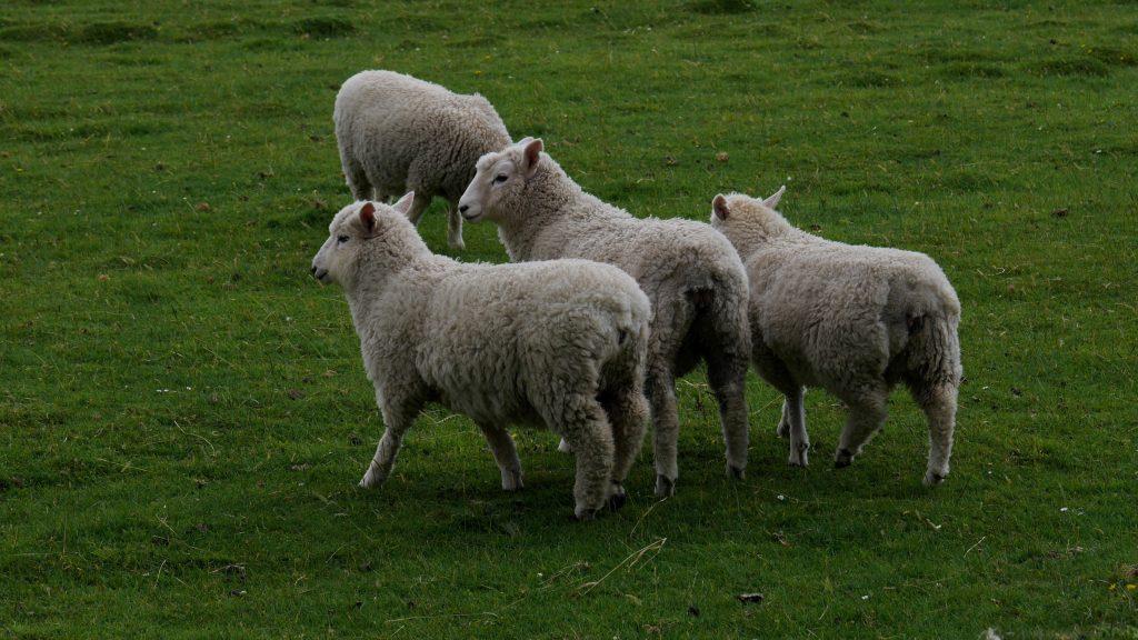 Des moutons parmi tant d'autres sur cette île