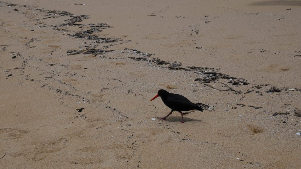 Un huîtrier sur la plage
