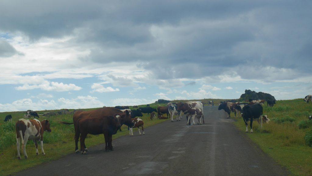 Vaches sur la route