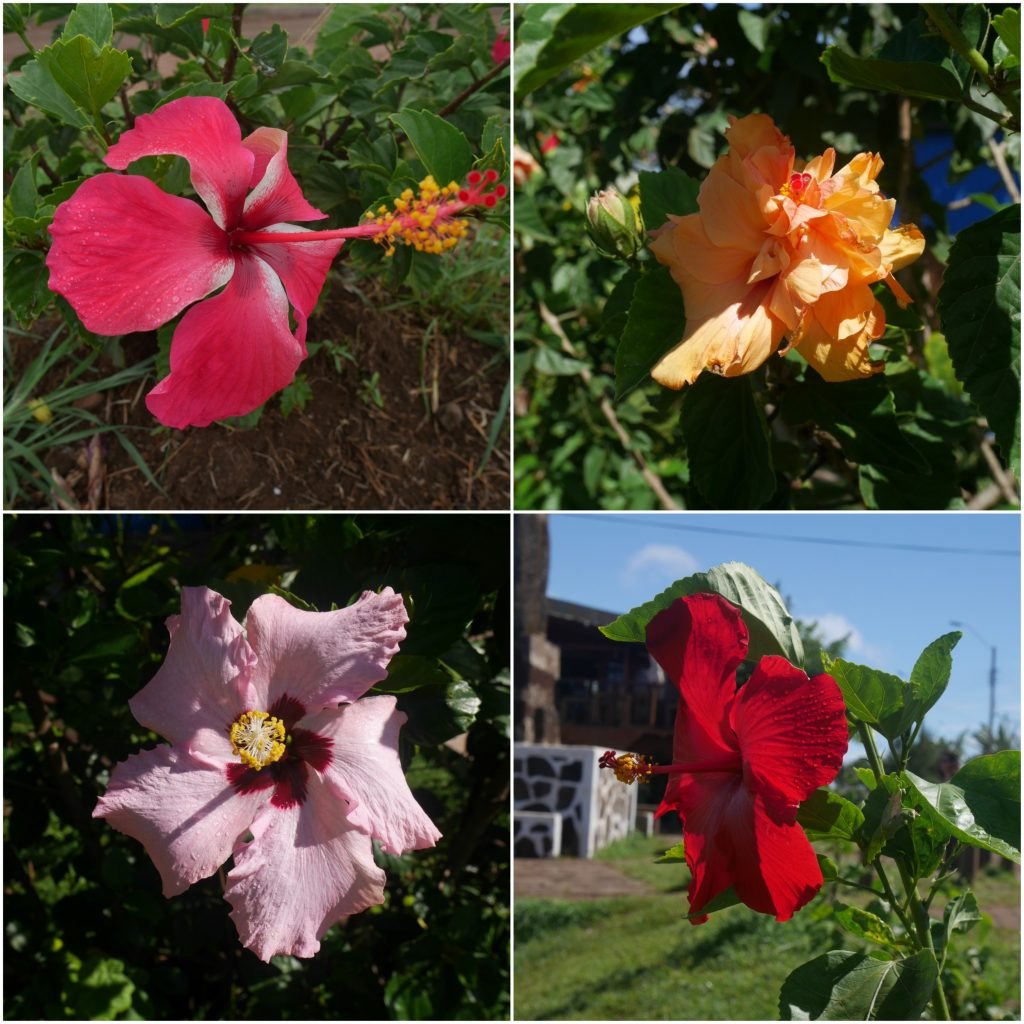 Extrait des nombreux hibiscus de l'île