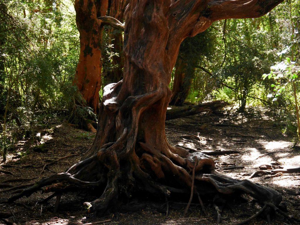 Un arrayan, arbre rouge local