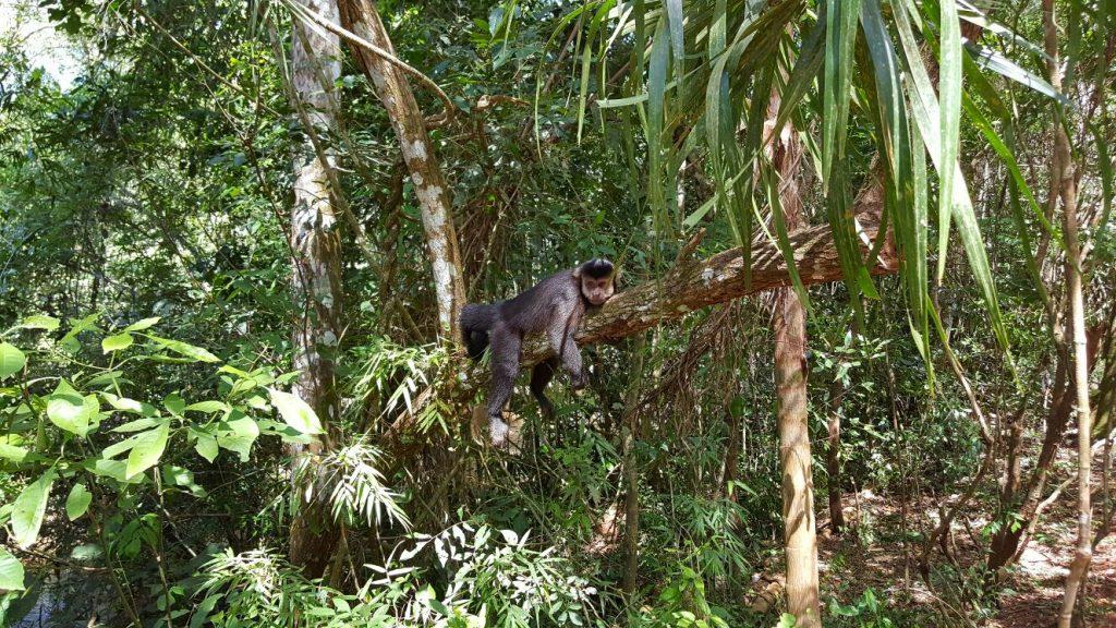 Un des singes vus par Julie, mais pas par nous
