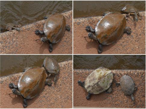 Bébé tortue arrive enfin à rejoindre sa maman