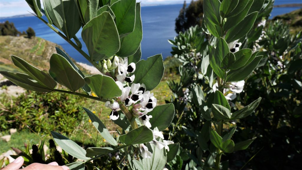 La fleur de habas (haricot), très agréablement odorante
