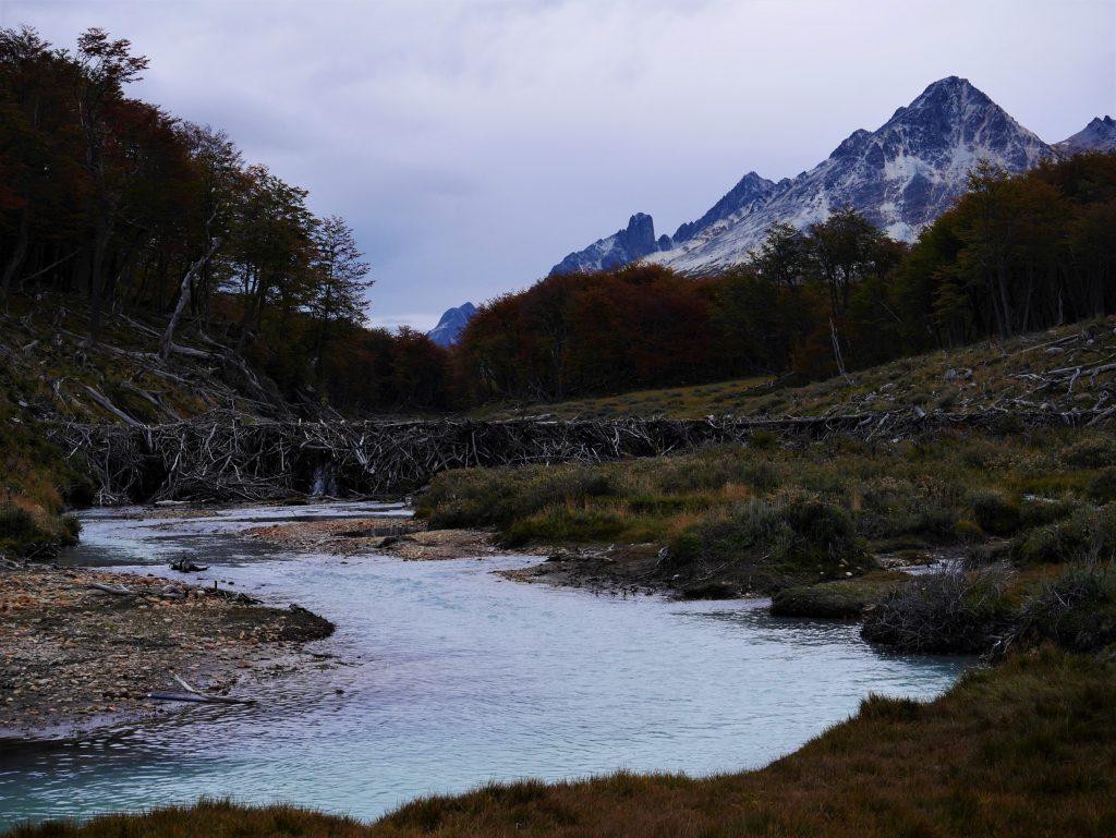 Rivière et barrage de castors