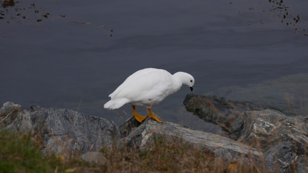 Un Kelp Goose mâle