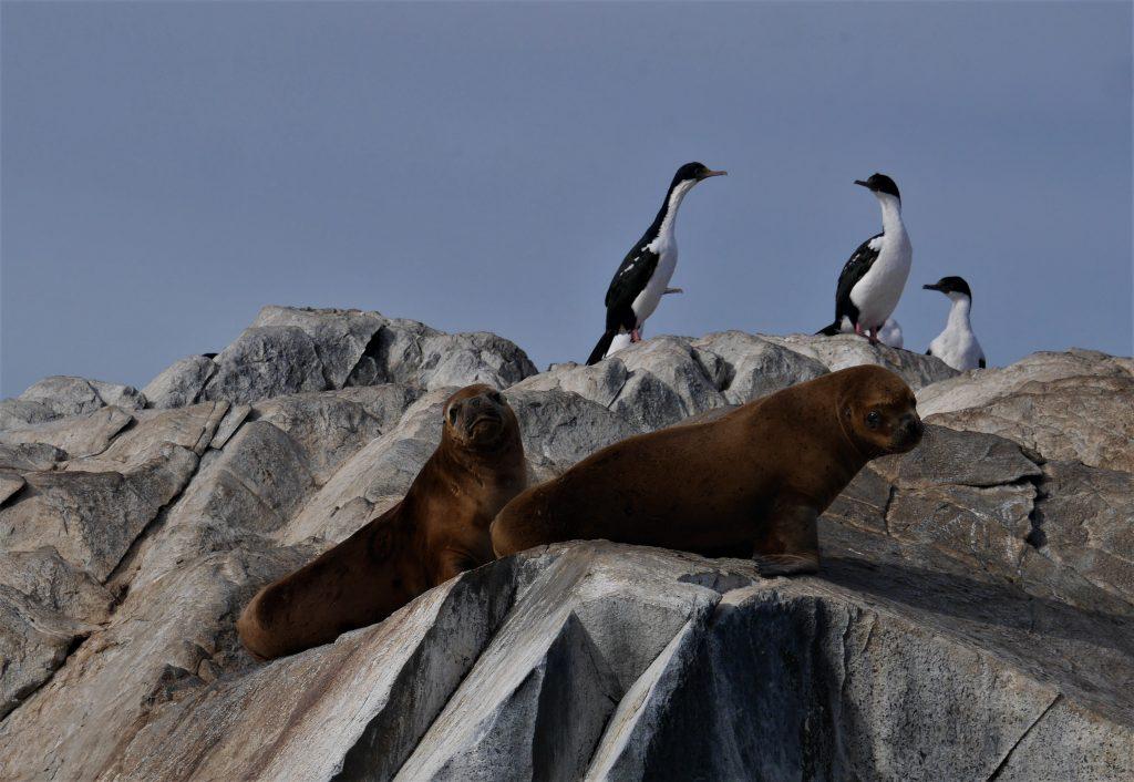 Phoques et cormorans impériaux
