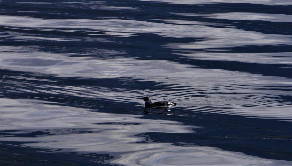 Un pinguin