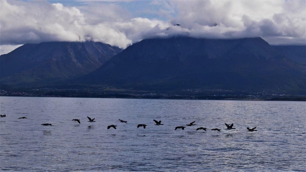 Vol de cormorans dans le canal de Beagle