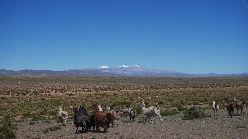 Lamas en fuite