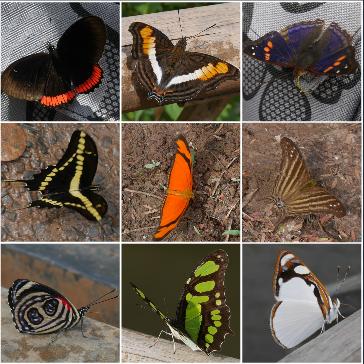 Synthèse de la chasse aux papillons