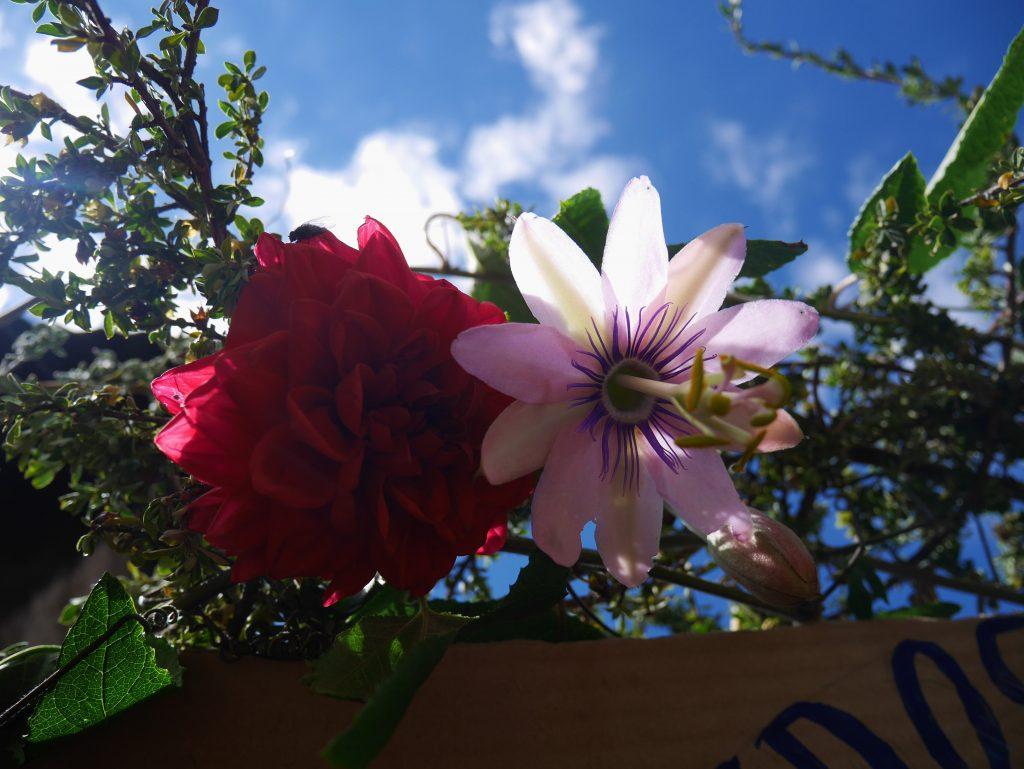 Rose et fleur de la passion