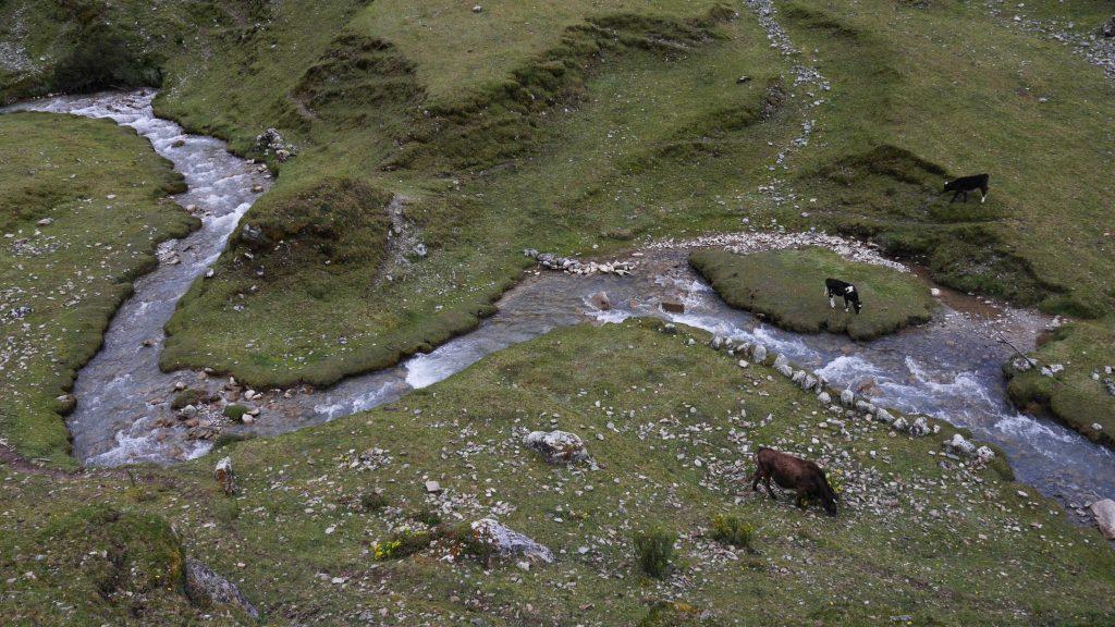 Vaches et rivière